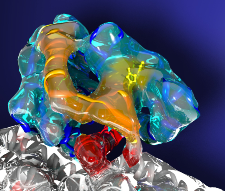 A molecular motor gives up its secrets. Electron microscope images of kinesin, one of life's smallest molecular motors, have been used to derive new, highly detailed 3-D maps (transparent surface) of the motor frozen in action. By fitting atomic models (colored ribbons) into the 3-D maps, a detailed mechanism has been derived for how a single molecule of biological fuel, called ATP, initiates motor movement. (Image by Charles Sindelar, Brandeis University)