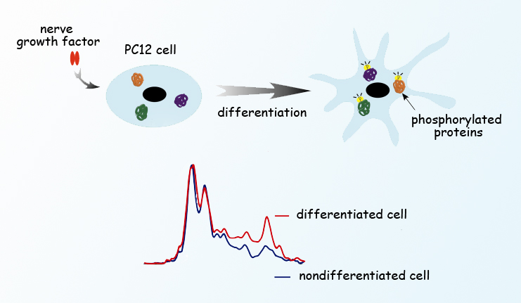 Berkeley Lab scientists observed phosphorylation in living PC12 cells stimulated by nerve growth factor as they differentiated and sent out neuron-like neurites. The researchers imaged individual cells and simultaneously obtained absorption spectra using synchrotron radiation from the Advanced Light Source. Cells not stimulated with nerve growth factor did not differentiate and showed different infrared absorption spectra.