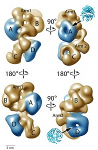 The PRC2-AEBP2 complex consists of four different lobes of about 55 Å in diameter (A, B, C, D) interconnected by two narrow arms (Arm1, Arm2). two activity-controlling elements of PRC2 are shown in blue and located at opposite ends.