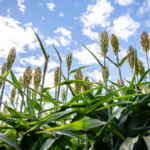 photo of sorghum plants