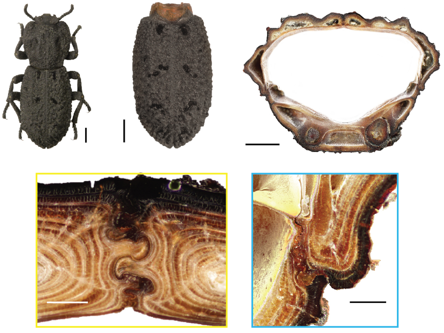 Images - These images show the diabolical ironclad beetle (top left) and how its abdomen (top middle and right) contains an internal architecture (bottom) featuring puzzle piece-like joints (bottom left) that make it incredibly crush-resistant. (Credit: UC Irvine)